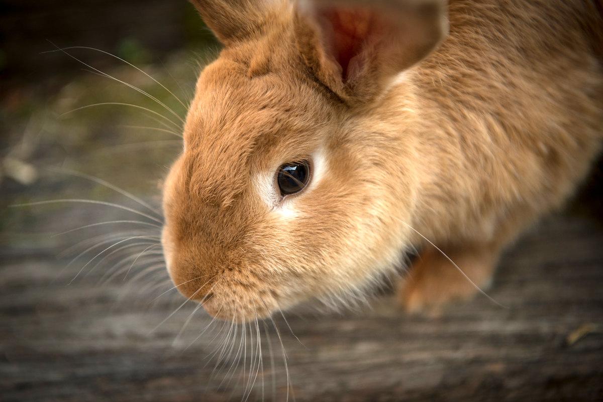 Ballymena Vet blogs about Pet Rabbits